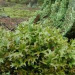 Pukléřka islandská rostlina