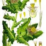 Benedikt lékařský rostlina