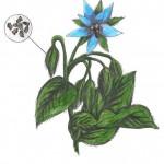 Brutnák lékařský rostlina