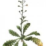 Kokoška pastuší tobolka rostlina