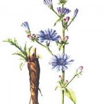 Čekanka obecná rostlina
