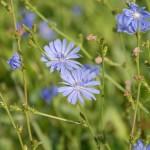 Čekanka obecná květ
