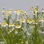 Heřmánek pravý rostlina